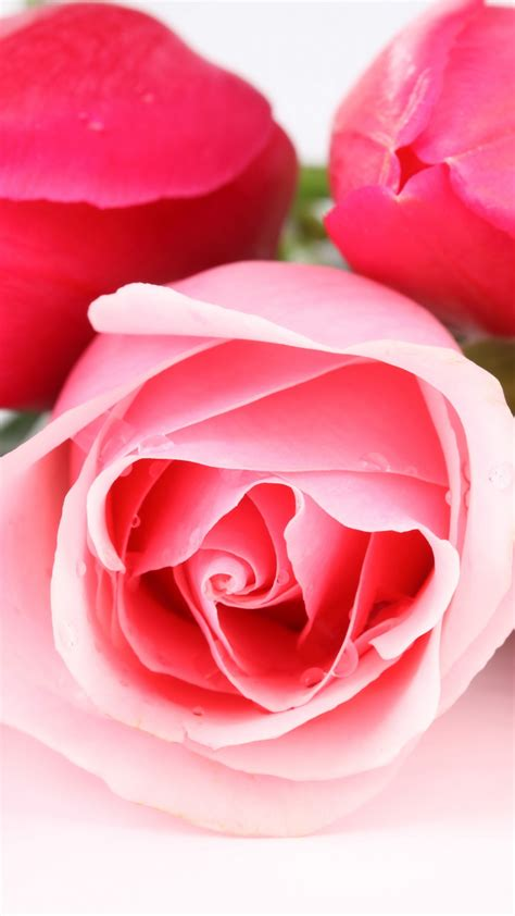 wallpaper pink roses baby pink hd  flowers