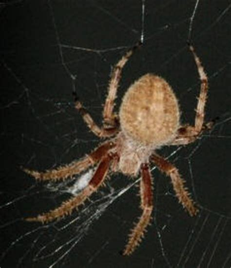 Garden Spider Southern California Spiders At Spiderzrule The Best Site In The World About