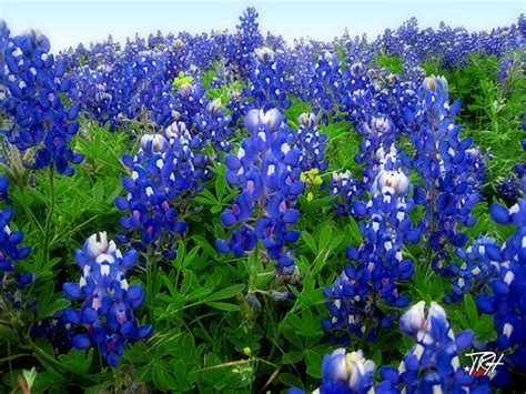 state flower of texas bluebonnets texas state flower the bluebonnets are out