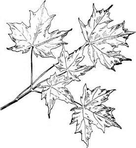 Sugar Maple Branchlet Coloring Page Super Coloring Maple Tree Coloring Page