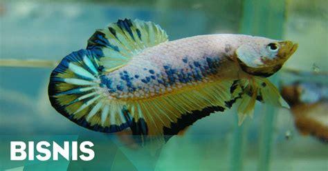 Ikan Cupang 27 ikan cupang asal kudus menembus pasar dunia okezone ekonomi