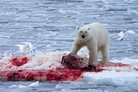 Greenland Bedding What Do Polar Bears Eat The Garden Of Eaden