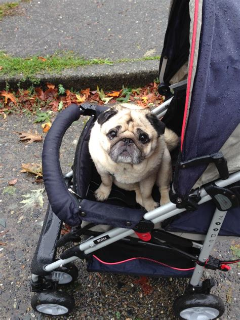 arthritis in pugs my pug has arthritis but still wants to go for walks so we bought him a stroller aww