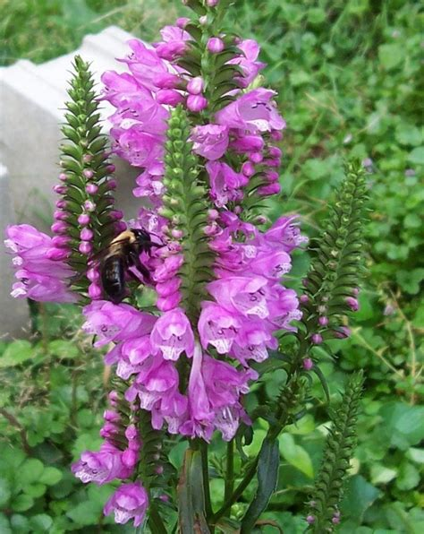 Flower Plants For Garden Physostegia Virginiana Pink Obedient Plant Perennial Seeds Ebay
