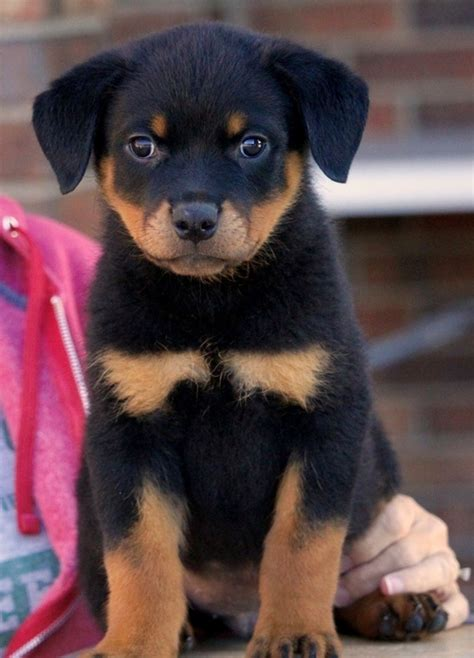 rottweilers for sale in louisiana rottweiler for sale in louisiana petzlover