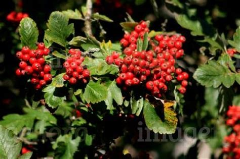 sorbus mougeotii red berries in summer stock photo