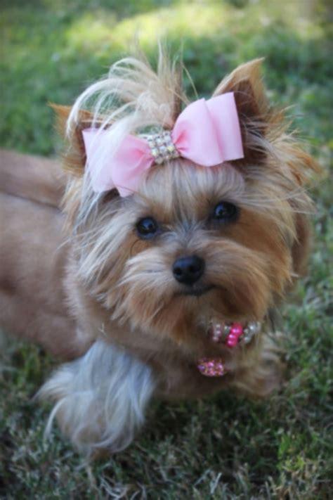 yorkie fur yorkie in real mink fur coat yorkie teacup pink yorkie terrier