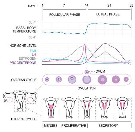 ciclo menstrual | santiago dexeus barcelona