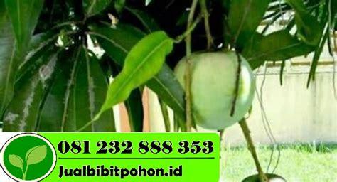 Bibit Pohon Mangga Arumanis bibit mangga unggul archives jual bibit pohon 081232888353