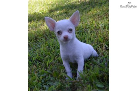 chihuahua puppies near me chihuahua puppy for sale near springfield missouri 1a338fca 37b1