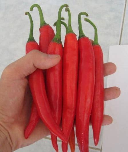 Seledri 125 Benih benih big chili 8 biji non retail bibitbunga
