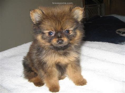 pomeranian for sale tx pomeranian puppies for sale in zoe fans puppies