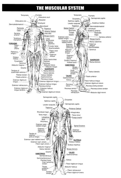 Muscular System Worksheet by Free Coloring Pages Of Human Anatomy Labeling