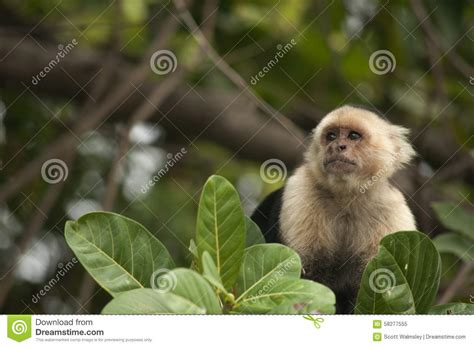 White-faced Capuchin Monkey Stock Photo - Image: 58277555