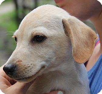 lab chihuahua mix puppies elvis pocket lab adopted stamford ct beagle chihuahua mix