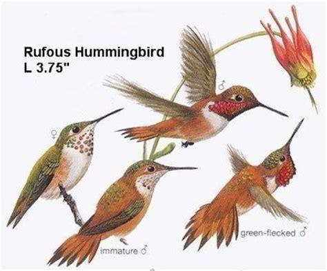 oregon birds rufous hummingbird