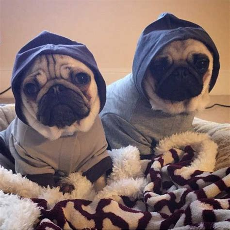 elizabeth pug 1000 images about dantdm with pugs on the pug pug and fur babies