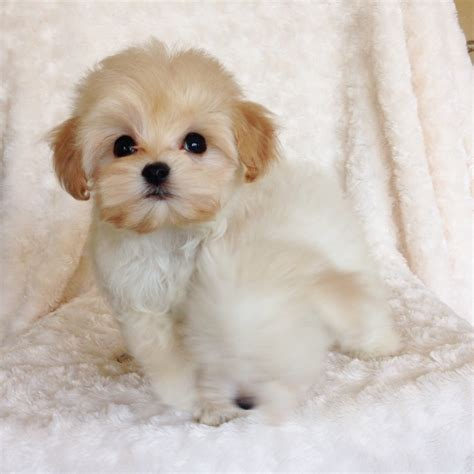 maltese yorkie teacup maltese and yorkie mix teacup www imgkid the image kid has it