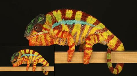 cameleon changing colors chameleons change color by tuning tiny crystals in their