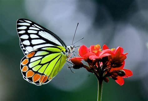 imagenes mariposas bellas imagenes de mariposas bellas imagenes de mariposas