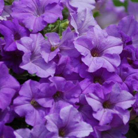 What Is My Gardening Zone - surfinia 174 heavenly blue petunia hybrid proven winners