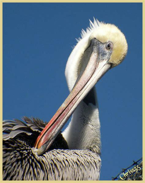 pelican themes gallery pelican 1