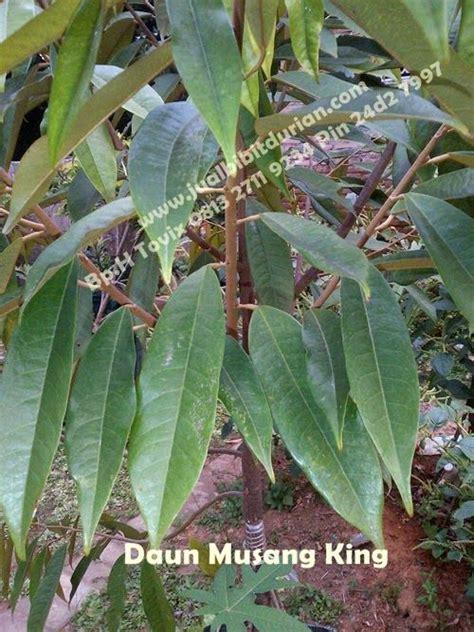 cir ciri bibit durian musang king ciri ciri daun durian