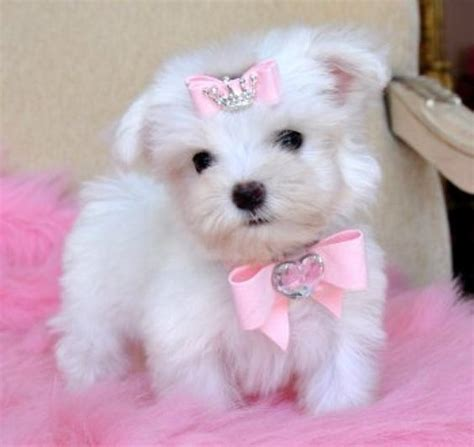 free puppies for adoption free havanese puppies for adoption teacup maltese puppy