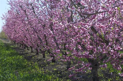 Plumb Tree by Why Santa Rosa Plum Trees Need Pruning And How To Do It Right