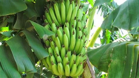 banana tree india foods