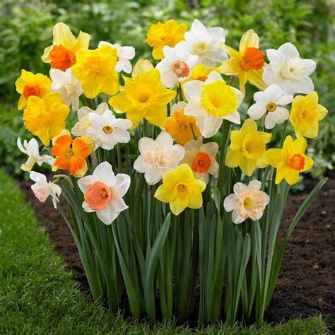 what color is daffodil daffodil narcissus lasting mix longfield gardens