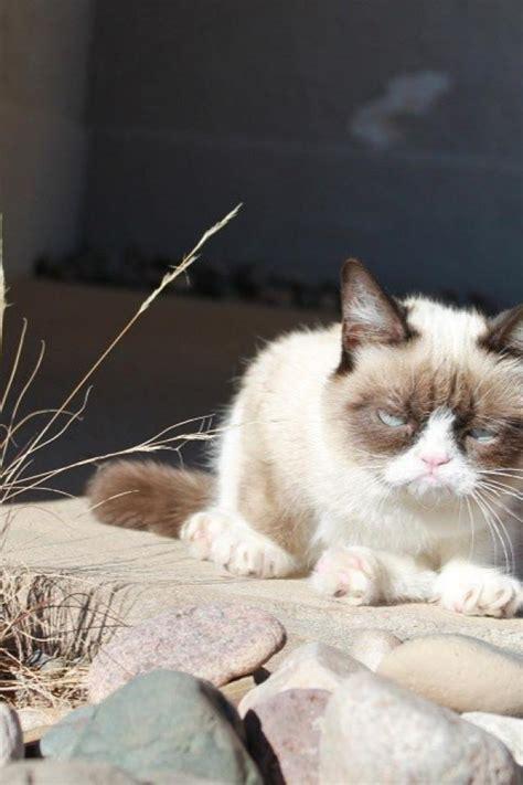 grumpy cat wallpaper  phone wallpapersafari