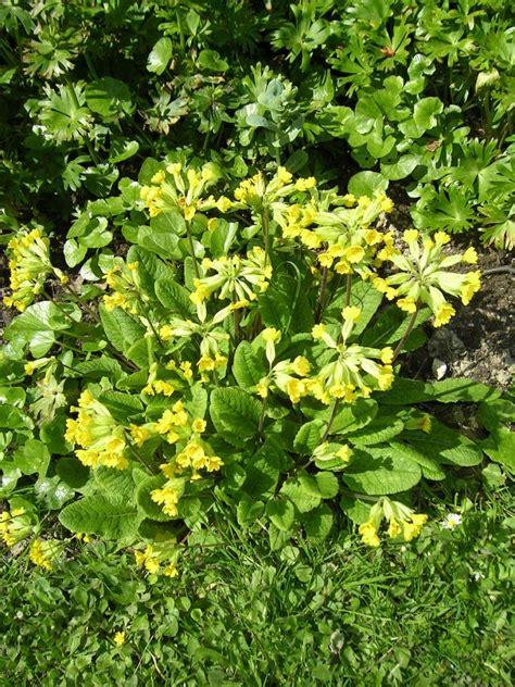 jacinto planta interior el jacinto plantas
