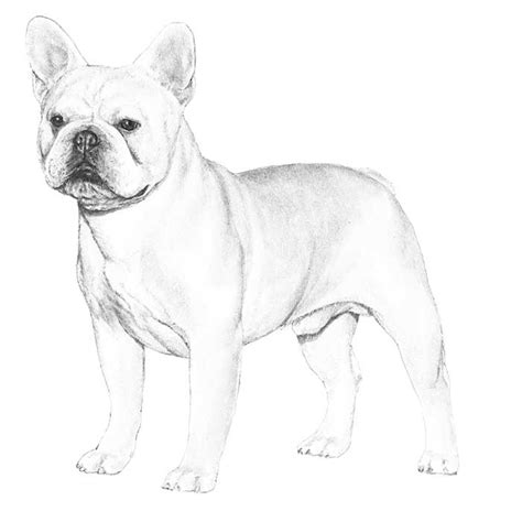 french bull dog coloring pages