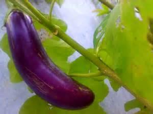 bercocok tanam   budidaya terung ungu