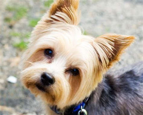 can a yorkie be a service fowey groomers fowey lankelly polvillion road