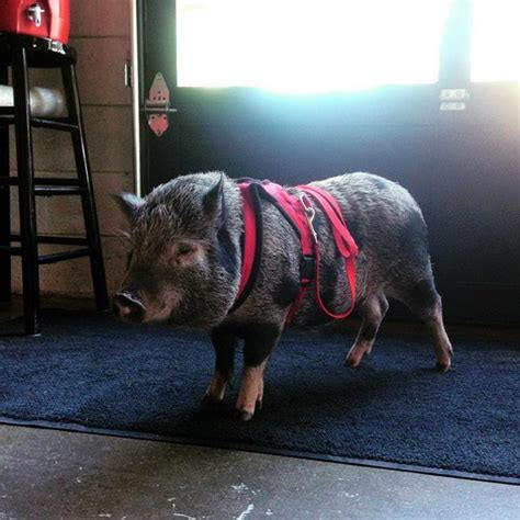 are pigs smarter than dogs are pigs smarter than dogs
