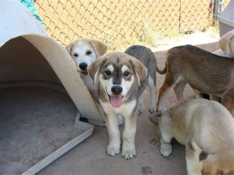 husky lab mix puppies for sale image gallery husky lab mix puppies