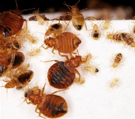 freeze bed bugs unwanted hitchhikers find a home in norway sciencenordic