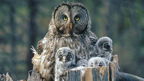 arrogant owl family wallpaper hd animals  birds