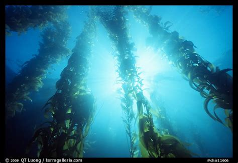 kelp beds picture photo underwater kelp bed annacapa island state marine reserve channel
