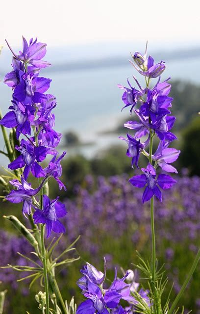 plant with purple flowers free pictures larkspur 10 images found