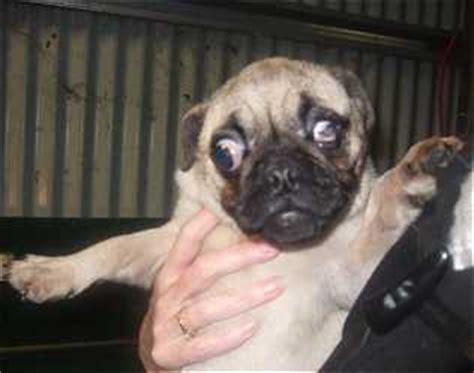 pug puppy farm pugs s o s