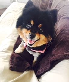 pomeranian enlarged tripawds blogs 187 tripawd support discussion forums about and cat utation