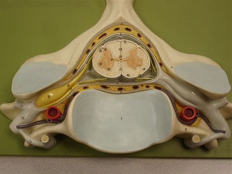 spinal cord cross section model flickr photo sharing