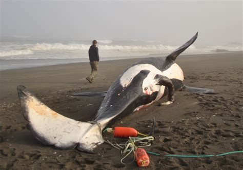 wale body male orca washes up dead on california beach photos