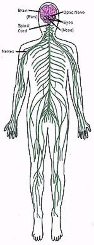 anatomy coloring pages nervous system sutika hs biology ii