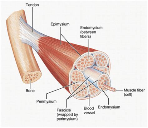 cross section of skeletal muscle human anatomy ken to fude no ryu kenshu kai karate