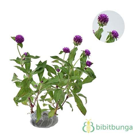 tanaman bunga kancing bibitbungacom