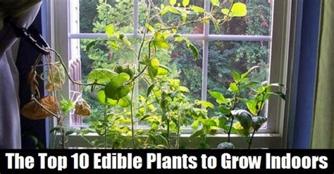 best plants to grow indoors the natural health page the top 10 edible plants to grow